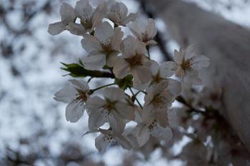 千代田桜まつり(11).jpg