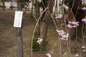 千代田桜まつり(30).jpg