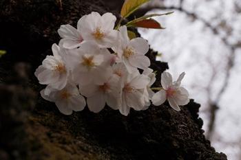 千代田桜まつり(35).jpg
