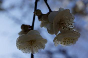 梅祭り(4).jpg