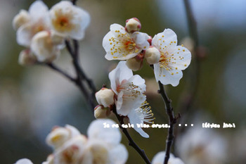 湯島天神の梅(11).jpg