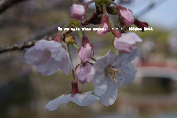 鎌倉の桜2016(12).jpg