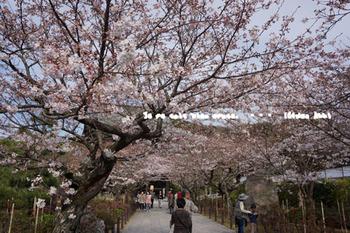 鎌倉の桜2016(23).jpg
