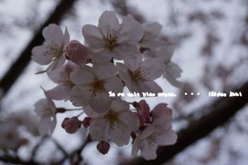 鎌倉の桜2016(24).jpg