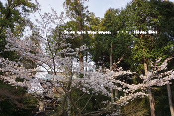 鎌倉の桜2016(36).jpg