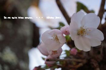 鎌倉の桜2016(42).jpg