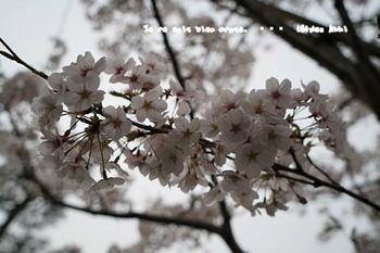 鎌倉の桜2018(25).jpg