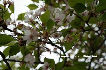 鎌倉の桜2018(30).jpg