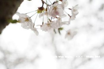 鎌倉の桜2018(36).jpg