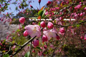 鎌倉の桜(10).jpg