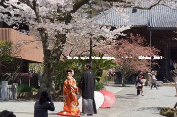 鎌倉の桜(12).jpg