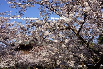 鎌倉の桜(24).jpg