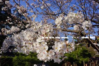 鎌倉の桜(26).jpg