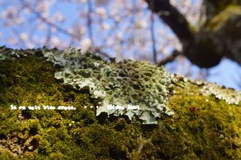 鎌倉の桜(27).jpg