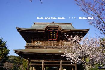 鎌倉の桜(28).jpg