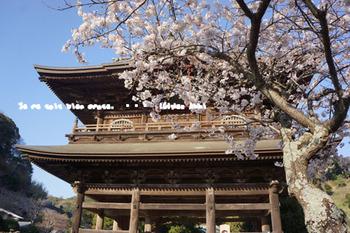 鎌倉の桜(29).jpg