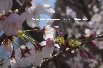 鎌倉の桜(3).jpg