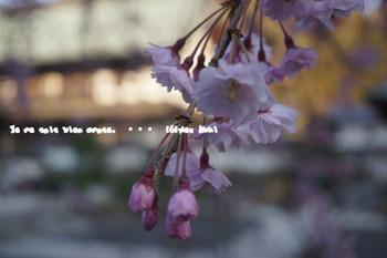 鎌倉の桜(31).jpg