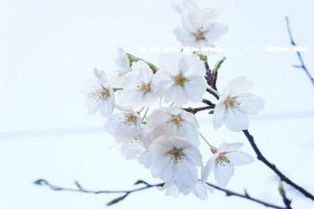 鎌倉の桜(33).jpg