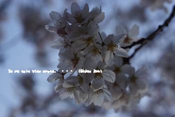 鎌倉の桜(34).jpg