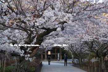 鎌倉の桜(35).jpg