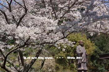 鎌倉の桜(4).jpg
