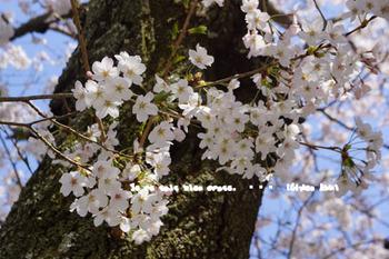 鎌倉の桜(5).jpg