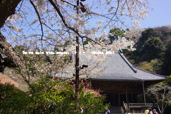 鎌倉の桜(6).jpg