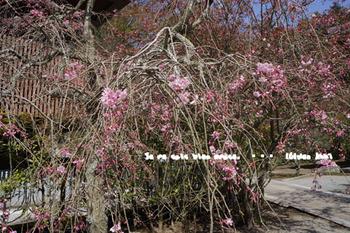 鎌倉の桜(7).jpg