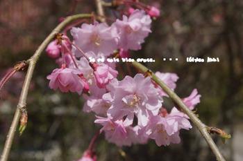 鎌倉の桜(8).jpg