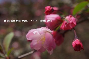 鎌倉の桜(9).jpg