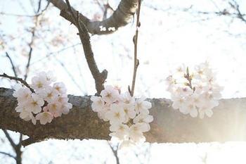 鎌倉桜2017(27).jpg