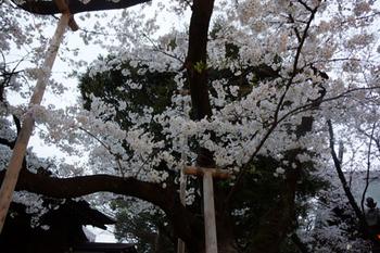 千代田桜まつり(9).jpg