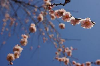 梅祭り(19).jpg