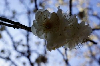 梅祭り(3).jpg