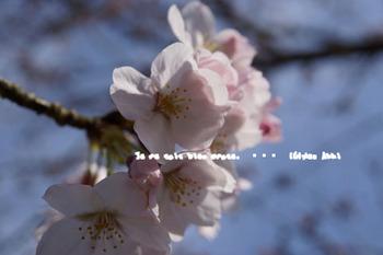 鎌倉の桜2016(17).jpg