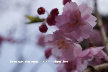 鎌倉の桜2016(28).jpg