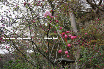 鎌倉の桜2016(30).jpg
