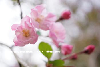 鎌倉の桜2016(31).jpg