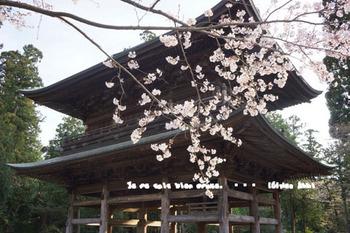 鎌倉の桜2016(37).jpg