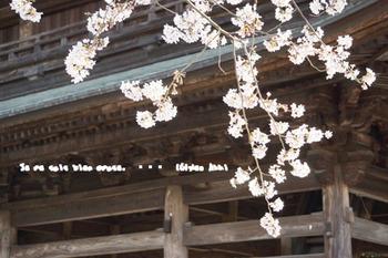 鎌倉の桜2016(38).jpg
