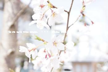 鎌倉の桜2016(4).jpg