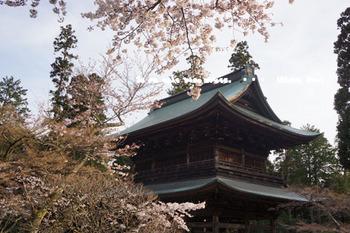 鎌倉の桜2016(44).jpg