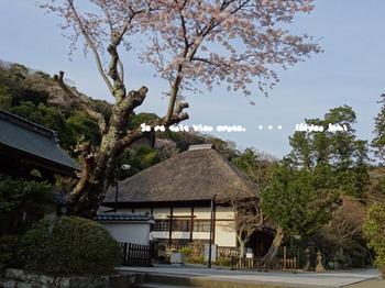 鎌倉の桜2016(45).jpg