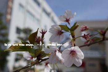 鎌倉の桜2016(5).jpg