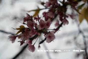 鎌倉の桜2018(31).jpg