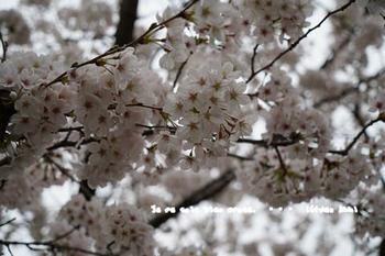 鎌倉の桜2018(34).jpg