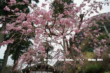 鎌倉の桜2018(40).jpg