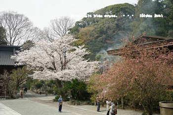 鎌倉の桜2018(7).jpg