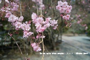 鎌倉の桜2018(8).jpg
